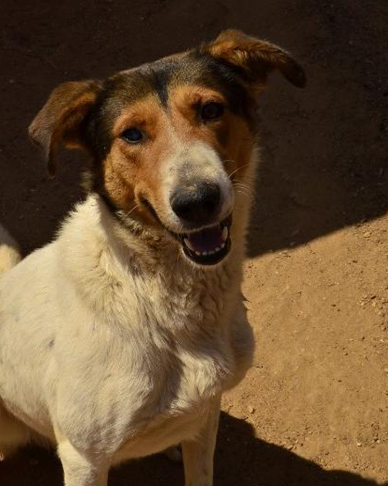 Adopt a dog at DASH, a dog shelter in Greece - Adopt Charlie today!