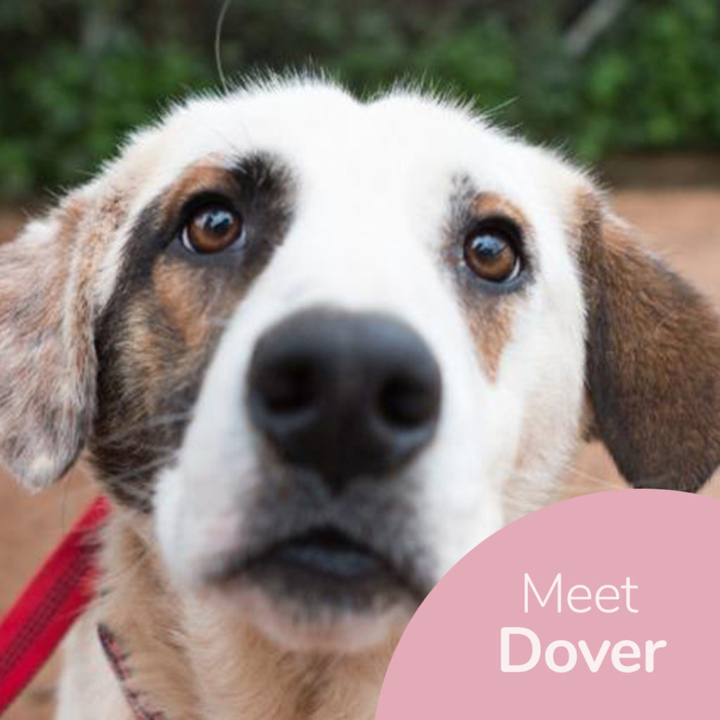 Adopt a dog at DASH, a dog shelter in Greece - Adopt Dover today!