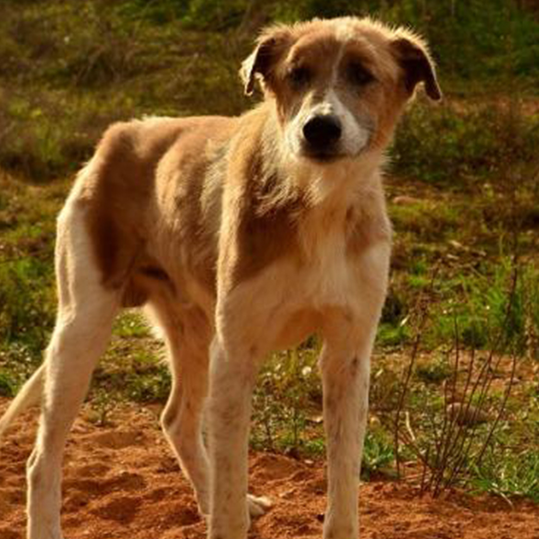 Sponsor a dog at DASH, a dog shelter in Greece - Sponsor Bonnie today!