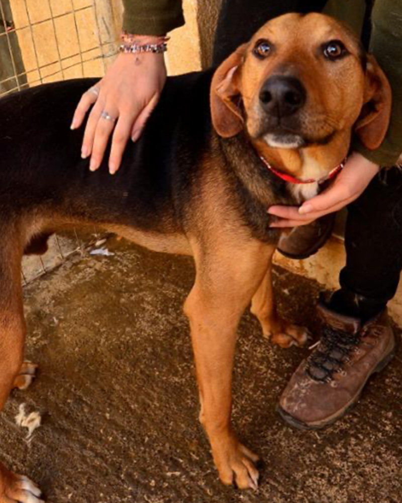 Adopt a dog at DASH, a dog shelter in Greece - Adopt Felipp today!