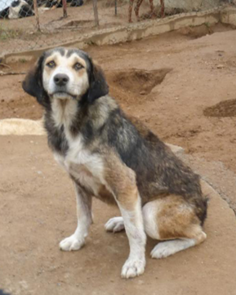 Adopt a dog at DASH, a dog shelter in Greece - Adopt Inka today!
