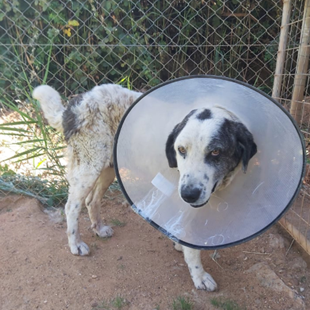 Sponsor a dog at DASH, a dog shelter in Greece - Sponsor Tenia today!